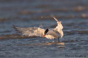 6646 Royal Tern (Thalasseus maximus), Galveston Island, Texas