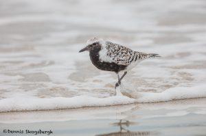 6651 Black-bellied Plover (Pluvialis squatarola), Galveston Island, Texas