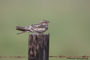 6652 Common Nighthawk (Chordeiles minor), Anahuac NWR, Texas