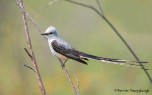 6659 Scissor-tailed Flycatcher (Tyrannus forficatus), Galveston Island, Texas