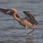 6660 Reddish-Egret (Egretta rufescens), Galveston Island, Texas