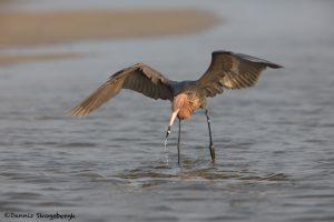 6661 Reddish Egret (Egretta rufescens), Galveston Island, Texas