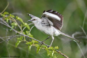 6663 Northern Mockingbird (Mimus polyglottos), Galveston Island, Texas
