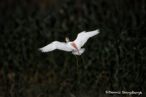 6664 Cattle Egret (Bubulcus ibis), Anahuac NWR, Texas