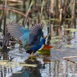 6665 Purple Gallinule (Porphyrio martinicus), Anahuac NWR, Texas