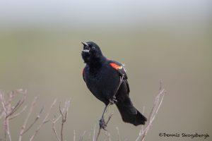 6669 Red-winged Blackbird (Agelaius phoeniceus), Anahuac NWR, Texas