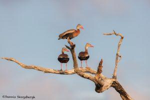 6670 Black-bellied Whistling Ducks (Dendrocygna autumnalis), Galveston Island, Texas