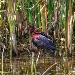 6671 Glossy Ibis (Plegadis falcinellus), Anahuac NWR, Texas