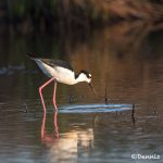 6690 Black-necked Stilt (Himantopus mexicanus), Galveston Island, Texas
