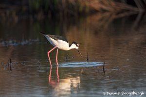 6690 Black-necked Stilt (Himantopus mexicanus), Galveston Island, Texas