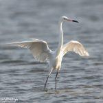 6691 Reddish Egret (Egretta rufescens) White Morph, Galveston Island, Texas