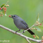 6692 Gray Catbird (Dumetella carolinensis), Galveston Island, Texas