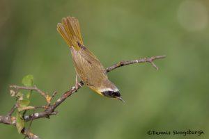 6697 Common Yellowthroat (Geothlypis trichas), Galveston Island, Texas