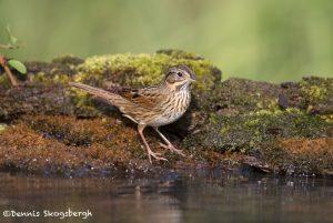 6698 Lincoln's Sparrow (Melospiza lincolnii), Galveston Island, Texas