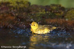 6700 Yellow Warbler (Setophaga petechia), Galveston Island, Texas