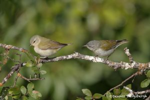 6704 Male and Female Tennessee Warbler (Oreothlypis peregrina), Galveston Island, Texas