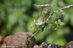 6705 Tennessee Warbler (Oreothlypis peregrina), Galveston Island, Texas