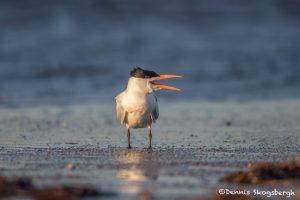 6713 Sunrise, Royal Tern (Thalasseus maximus), Galveston Island, Texas