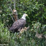6717 Bald Eagle, Katmai National Park, Alaska