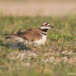 6724 Nesting Killdeer (Charadrius vociferus), Galveston Island,Texas