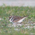 6725 Killdeer Re-settling on Nest, Galveston Island,Texas