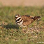 6727 Killdeer (Characrius vociferus), Galveston Island, Texas