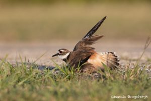 6727 Killdeer (Charadrius vociferus) Lame Wing Ploy, Galveston Island, Texas