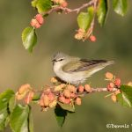 6728 Tennessee Warbler (Oreothlypis peregrina), Galveston Island, Texas