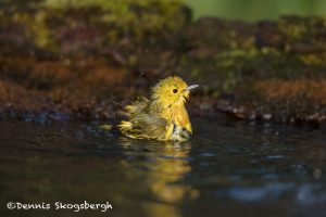 6738 Yellow Warbler (Setophaga petechia), Galveston Island, Texas