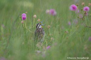 6740 Singing Eastern Meadowlark (Sturnella magna), Galveston Island, Texas