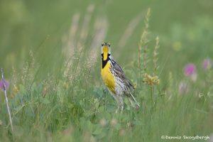 6741 Eastern Meadowlark (Sturnella magna), Galveston Island, Texas