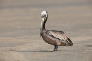 6748 Brown Pelican (Pelecanus occidentalis), Galveston Island, Texas