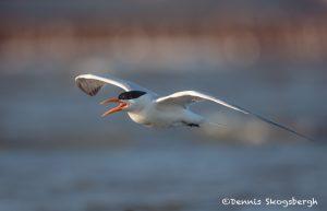 6753 Royal Tern (Thalasseus maximus, Galveston Island, Texas