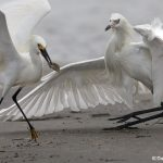 6757 Snowy Egret and Reddish Egret (White Morph) Fighting for Fish, Galveston Island, Texas
