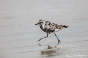 6760 Black-bellied Plover (Pluvialis squatarola), Galveston Island, Texas