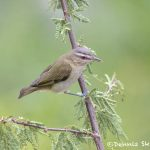 6763 Red-eyed Vireo (Vireo olivaceus), Galveston Island, Texas