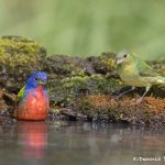 6765 Male and Female Painted Buntings Bathing (Passerina cirus), Galveston Island, Texas