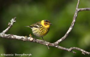 6767 Male Cape May Warbler (Setophaga tigrina), Galveston Island, Texas
