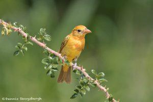 6769 Summer Tanager (Piranga rubra) First Year Male, Galveston Island, Texas