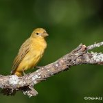 6770 Female Summer Tanager (Piranga rubra), Galveston Island, Texas