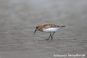 6774 Breeding Adult Sanderling (Calidris alba), Galveston Island, Texas