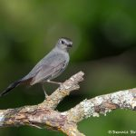 6776 Gray Catbird (Dumetella carolinensis), Galveston Island, Texas