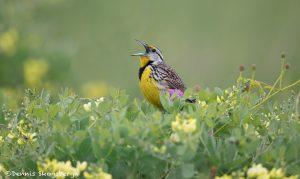 6777 Singing Eastern Meadowlark (Sturnella magna), Galveston Island, Texas