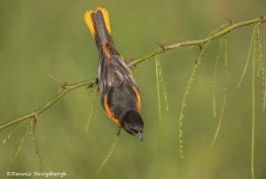 6778 Male Baltimore Ortiole (Icterus galbula), Galveston Island, Texas