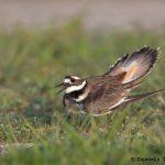 6681 Killdeer (Charadrius vociferous), Galveston Island, Texas