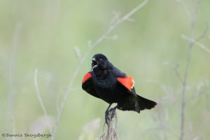 6785 Red-winged Blackbird (Agelaius phoeniceus), Hagerman NWR,Texas