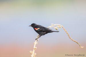 6786 Red-winged Blackbird (Agelaius phoeniceus), Hagerman NWR, Texas