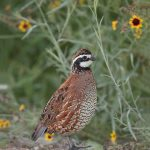 6791 Male Northern Bobwhite (Colinus virginianus), Hagerman NWR, Texas