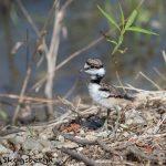 6793 Killdeer Chick (Charadrius vociferus), Hagerman NWR, Texas