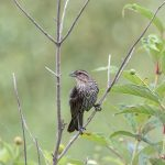 6796 Female Red-winged Blackbird (Agelaius phoeniceus), Hagerman NWR, Texas